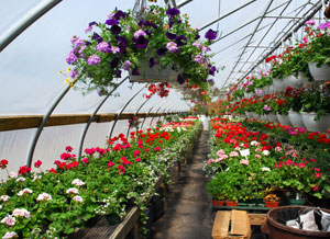 All plants are grown in our greenhouses.