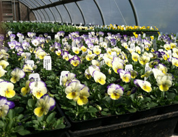 Pansies and violas are the first flowers we sell in the Spring.